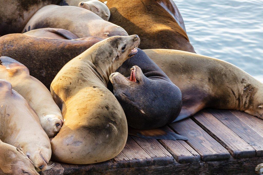 quarrelling seals